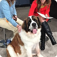 St. Bernard Dog for adoption in Denver, Colorado - Felicity