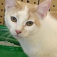 Adopt A Pet :: Clyde - Sarasota, FL