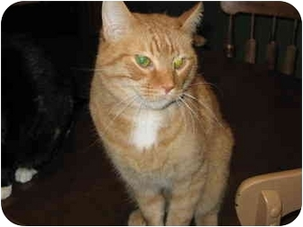 Domestic Shorthair Cat for adoption in North Boston, New York - Wally
