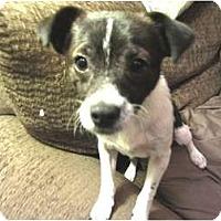 Adopt A Pet :: Simba - Phoenix, AZ