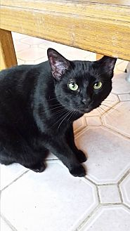 Domestic Shorthair Cat for adoption in Wichita Falls, Texas - Nickoli