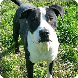 Pit Bull Terrier Dog for adoption in Shreveport, Louisiana - Mr. Grinch