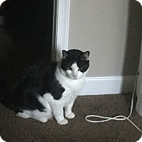 Domestic Mediumhair Cat for adoption in Adelphi, Maryland - Bo