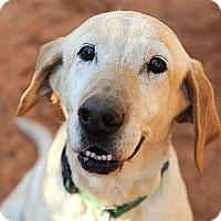 Labrador Retriever Dog for adoption in Kanab, Utah - Daisy