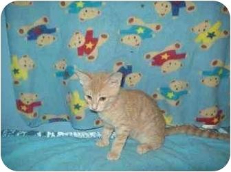 American Shorthair Kitten for adoption in Orlando, Florida - Fazier