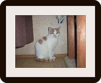 Domestic Shorthair Cat for adoption in Medford, Wisconsin - MARLEY(ADOPTION ONLY $40)