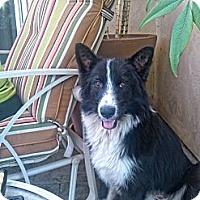Adopt A Pet :: Laci - spring valley, CA