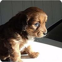 Adopt A Pet :: Female red - Morgan Hill, CA