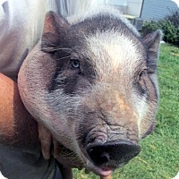 Pig (Potbellied) for adoption in Germantown, Maryland - Virgo