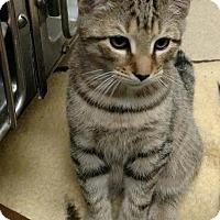 Adopt A Pet :: Brownie Grey - New Egypt, NJ