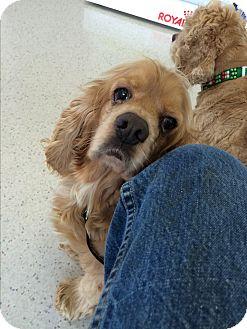 Cocker Spaniel Dog for adoption in Tacoma, Washington - B.J.