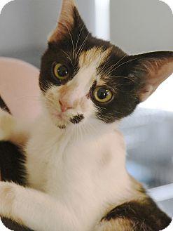 Domestic Shorthair Cat for adoption in Marietta, Georgia - Flower