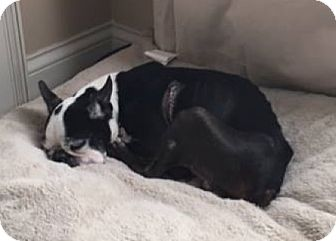Boston Terrier Dog for adoption in Jackson, Tennessee - Thor