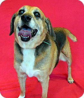 Beagle Mix Dog for adoption in Akron, Ohio - Harley