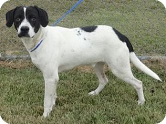 Labrador Retriever Mix Puppy for adoption in Olive Branch, Mississippi - Smiley