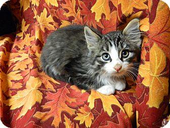 Domestic Shorthair Kitten for adoption in Columbus, Nebraska - Boots