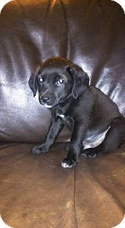 Chihuahua/Terrier (Unknown Type, Small) Mix Puppy for adoption in DeForest, Wisconsin - Yellow