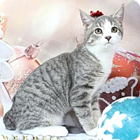Adopt A Pet :: Little Blue - Harrisonburg, VA