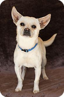Pug/Chihuahua Mix Dog for adoption in Yucaipa, California - Bobby