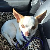 Adopt A Pet :: Chance - Scottsdale, AZ