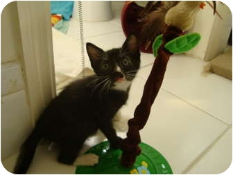 Domestic Shorthair Kitten for adoption in Coral Springs, Florida - Mandy