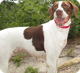 English Pointer Dog for adoption in Forked River, New Jersey - Riley