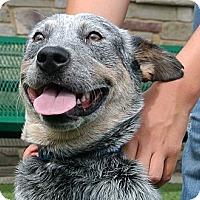 Adopt A Pet :: Devin - white settlment, TX