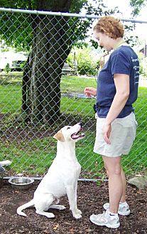 Labrador Retriever Mix Dog for adoption in Middletown, New York - Donnie