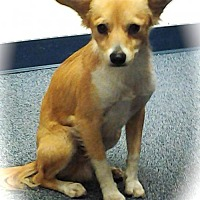 Adopt A Pet :: Fox - Phoenix, AZ