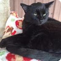 Domestic Shorthair Cat for adoption in Quilcene, Washington - Won Ton