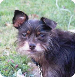 Yorkie, Yorkshire Terrier/Chihuahua Mix Dog for adoption in Washington, D.C. - Marley