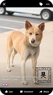 Basenji/Shiba Inu Mix Dog for adoption in Staunton, Virginia - Abby