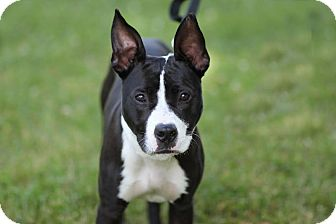American Pit Bull Terrier Mix Dog for adoption in Midland, Michigan - Max - $25!