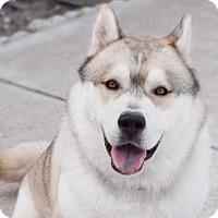 Siberian Husky Dog for adoption in Jupiter, Florida - Toby