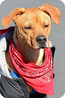 Redbone Coonhound Mix Dog for adoption in Albemarle, North Carolina - Hank