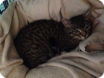 Domestic Shorthair Kitten for adoption in Scottsdale, Arizona - Mouse