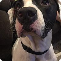Adopt A Pet :: Vali - O'Fallon, MO