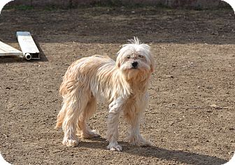 Terrier (Unknown Type, Small) Mix Dog for adoption in Simi Valley, California - Trixie