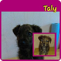 Adopt A Pet :: Taly - LAKEWOOD, CA
