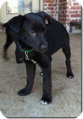 Labrador Retriever Mix Puppy for adoption in Manchester, Connecticut - Inky ADOPTION PENDING