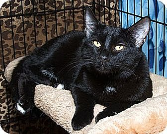 Domestic Shorthair Cat for adoption in Sacramento, California - Jude B