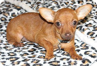 Chihuahua Puppy for adoption in Bellflower, California - Cashew