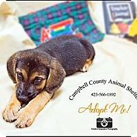 Adopt A Pet :: Puppy - Jacksboro, TN