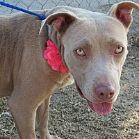 Adopt A Pet :: Belle - eagle point, OR