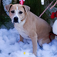 Boxer/Black Mouth Cur Mix Dog for adoption in Baton Rouge, Louisiana - Daezee