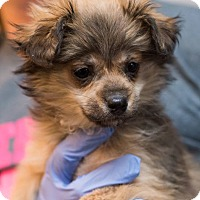 Adopt A Pet :: Ria - Minneapolis, MN