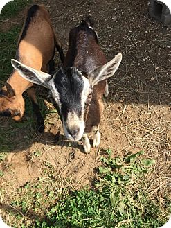 Goat for adoption in Maple Valley, Washington - Rockford