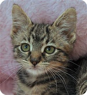 Domestic Mediumhair Kitten for adoption in Lincoln, California - Jane