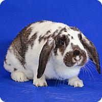 Adopt A Pet :: Stitch - Chicago, IL