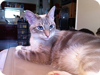 Domestic Shorthair Cat for adoption in Long Beach, California - Eve